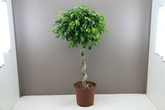 Distinctive Ficus Benjamina with Rare Double Spiral Stem - Very stylish and exotic looks - A must have to add a tropical twist to your home or office.