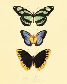 Antique Butterfly Print affiche Nature histoire naturelle signees vieux estampes gravures antique Victorian art papillon décoration murale art