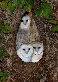 Beautiful family of Barn Owls (Tyto alba