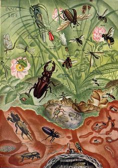 """Eileen Mayo illustration of various bugs. Interestingly,  a """"bug"""" can also refer to a covert listening device, various models of the Volkswagen automobile, and a computer problem. There are also several films, and a few towns and rivers called """"Bug"""". A May Bug, however, can NOT be correctly described as a bug, as it is a type of BEETLE!!!"""