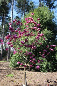camellia sasanqua spring bloom