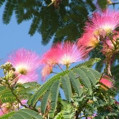 L'Albizia ou Arbre de soie est un arbre de petite taille, très apprécié pour la finesse de son feuillage et l'élégance de sa floraison aux étamines colorées.
