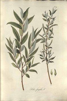 190219 Salix fragilis L. / Host, N.T., Salix, p. 5, t. 19 (1828)