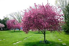 Prairie Fire Crabapple. 15'-20' high. 15'-20' spread. Flowering with pink flowers in spring, has small balled (cherry-size/shaped) fruit persistent until winter when birds eat them off. Leaves turn yellow/orange in the fall.