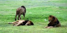 Animal watching safari could be easily arranged on https://pg.world/ #tourguide #lion #travel #tour #tourist #tourism #animal #safari