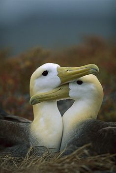 "Albatross ~ ""Pair Bonding."" Galapagos Islands. Photograph by Tui De Roy. °"