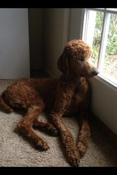 What is this poodle dreaming about?