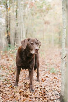 Mini sessions to benefit the Aiken County Animal Shelter,  chocolate labrador retriever Sachmo - Britt Croft Photography