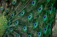 #iloveadorama  Alabama Zoo, Peacocks.  Original Picture by Karina Kleeberg.  If you like this image, press LIKE.