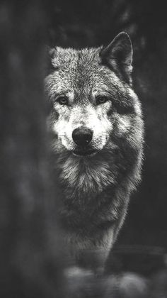 Image result for hd lockscreen wolf