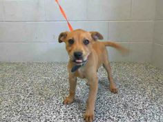 MIMI - ID #A464200 (MUST EXIT ON 4/29) I am a female, brown Labrador Retriever mix. Shelter staff think I am about 13 weeks old. THIS LITTLE GIRL IS JUST TOO CUTE! PLEASE SHARE TO SAVE HER LIFE! San Bernardino City Shelter, CA.Phone: 909-384-1304, Address: 333 Chandler Pl., San Bernardino, CA 92408. https://www.facebook.com/photo.php?fbid=10201375550464619&set=a.3186215868195.111836.1649756531&type=1&theater