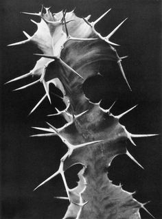 "dirt-babe: "" yama-bato: "" Albert Renger-Patzsch, Euphorbia grandicornis, c. "" a portrait of me "" Albert Renger Patzsch, Karl Blossfeldt, New Objectivity, History Of Photography, School Photography, Vintage Photography, White Photography, Natural Forms, Cacti And Succulents"