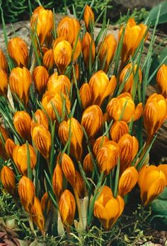 Crocus Orange Monarch - Crocus Bulbs (Corms)