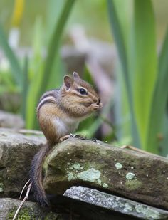 Chipmunks..... #Relax more with healing sounds: