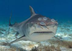 (10) Twitter Cat Shark, Shark Art, All Types Of Sharks, Cool Sharks, Small Cat, Shark Week, Big Fish, Entourage, Whale