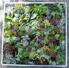 Succulent cuttings 100 (40 varieties) succulent perfect for wall gardens wreath and topiaries Succulents  echeverias succulent on Etsy, $74.00