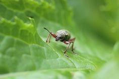 Käfer, Insekt, Wald, Blatt, Nahaufnahme