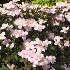 Clématite des Montagnes ´Mayleen´ C´est l´une des variétés les plus vigoureuses et les plus florifères. Ses petites fleurs de 5 à 6 cm de diam, parfumées d´oeillet, partiront volontiers à l´assaut des murs, abris de jardins, grilles.