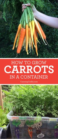 Planting Carrots in Containers with Homemade Potting Soil Recipe Planting Carrots in Containers with Homemade Potting Soil Recipe,Plants Learn how to plant carrots in containers with a homemade potting soil recipe to increase the. Growing Veggies, Growing Plants, Growing Carrots, How To Grow Vegetables, Organic Gardening, Gardening Tips, Gardening Shoes, Organic Farming, Bucket Gardening
