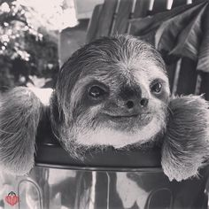 slothscomau: primatography: This beauty is Bella from the I am so excited to start collaborating with TRR on sloth conservation projects! They do amazing work and are full of Bella the Beauty indeed! Cute Baby Sloths, Cute Baby Animals, Animals And Pets, Funny Animals, Baby Otters, Wild Animals, Cute Creatures, Beautiful Creatures, Animals Beautiful