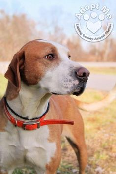 Jan 17/15 ABOUT 715~SYLUS Labrador Retriever Mix & Hound • Adult • Male • Large Licking County Animal Shelter 544 Dog Leg Rd. Heath, OH 43056 Approx 2 yrs old