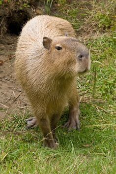 The world's largest rodent - the capybara