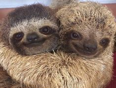 cute sloth Sometimes you've just got to hug it out Cute Baby Sloths, Cute Sloth, Cute Baby Animals, Animals And Pets, Funny Animals, Funny Sloth, Cute Hug, Baby Otters, Wild Animals
