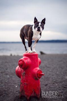 Boston Terrier Izumi showing off her amazing balancing skills! #bostonterriers #badass #Seattledogs