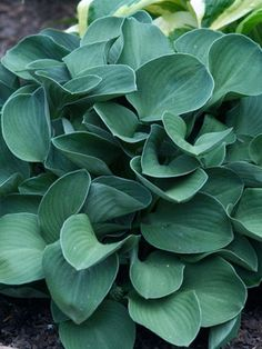 'Blue Mouse Ears' (Hosta 'Blue Mouse Ears') - Hostas x Hosta Plants, Flowers Perennials, Shade Plants, Garden Plants, Planting Flowers, Landscaping Plants, Outdoor Plants, Plantain Lily, Black Walnut Tree