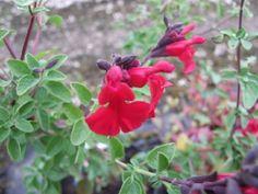 Salvia Dyson's Crimson Salvia, All Plants, Seaside, Coastal, Sage, Beach, Coast