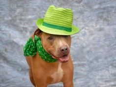 SAFE THANK YOU BLUE - A1065585 SUPER SUPER URGENT PLEASE I DON'T WANT 3/10/2016  TO BE MY LAST NIGHT TO BE DESTROYED 03/10/16 A SI ACC volunteer writes: Blue is hoping that by wearing his St. Paddy's Day best, the luck of the Irish will be on his side, and he will find a new home quickly. Blue was fun to have out this past weekend. He sat like a pro for his photo shoot and even balanced a hat on his head. He is a big strong dog who can definitely use some leash manners. My guess is he wasn't…