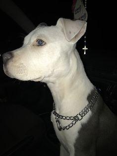 Pitbull Bull Terrier, Pitt Bulls, Puppies And Kitties, Bullies, Beautiful Babies, Animals And Pets, Dog Lovers, Kitty, Girl Photo Poses