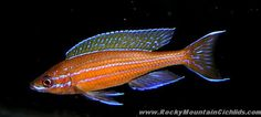 "Paracyprichromis nigripinnis - ~4"" tanganyikan cichlid"