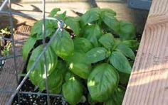 Basil - Basil is best planted next to Tomatoes. Used as a border for the Tomato patch, the plants will find it easier to resist disease & the fruits will be tastier.  Bees love Basil, while Aphids, Fruit-Fly, White-Fly, the House-Fly & Mosquitoes hate it.  Keep a pot near doors & windows to keep Flies out of your Home.  Also very handy for medicinal & cooking uses if grown nearby.