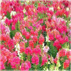 50% OFF - Snapdragon Explosion Handmade Blank Card Spring Floral Flowers B202 £1.00