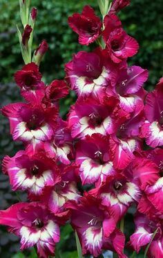 Bright and cheerful and an excellent choice! Gladioli Jo Jo produces cerise pink flowers with a cream throat in the summer time. Growing to around tall it produces a first class display in the garden and makes an excellent cut flower! Perennial Flowering Plants, Garden Plants, Perennials, Exotic Flowers, Pink Flowers, Beautiful Flowers, Gladiolus Flower, Garden Solutions, Rosa Pink