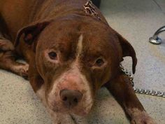 Urgent Manhattan - BARRY - #A1100339 - **DOH HOLD-B** MALE BROWN/WHITE STAFFORDSHIRE MIX, 3 Yrs - STRAY - ONHOLDHERE, HOLD FOR DOH-B Reason STRAY - Intake 12./23/16 Due Out 12/26/16 - BROUGHT IN BY POLICE, FRIENDLY AND ALLOWED EXAM - FULL THICKNESS WOUND 3-4CM - CAME IN WITH JUICE #A1100336