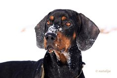 Austrian Black and Tan Hound, Österreichische glatthaarige Bracke, Vieräugl, Brandlbracke #Dogs #Puppy