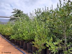 Description, gardening ideas and price of the Big num-num tree (Grootnoemnoem) which you can buy at Treeshop, Gauteng. Specification and images of Carissa macrocarpa trees for sale. African Tree, Evergreen Hedge, Fast Growing Trees, Unique Trees, How To Attract Birds, Flowering Shrubs, Large Pots, Small Gardens, Hedges
