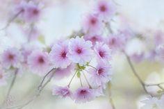 Photo Prunus 'Pink Ballerina' by Jacky Parker on 500px