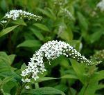 Hvid Fredløs. Planten får flotte hvide, 1 - 5 cm. store blomster.. Latinske navn: Lysimachia clethroides.