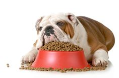 Photo about Sick dog -- english bulldog refusing to eat his food isolated on white background. Best Dog Food, Dry Dog Food, Best Dogs, Pet Food, Low Protein Dog Food, Dog Stock Photo, Les Croquettes, Food Suppliers, Dog Food Brands