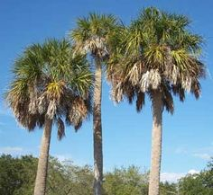 Cabbage palm Sabal palmetto Love of Palm Trees Pinterest