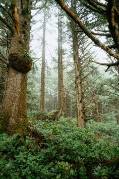 Tall Sitka Spruce Trees in the Pacific Northwest Sitka Spruce, Spruce Tree, Pacific Northwest, British Columbia, North West, Oregon, Trail, Coast, Swag
