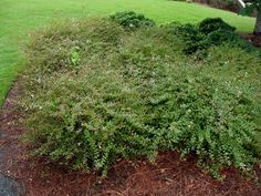 "Abelia x grandiflora ""Sherwood"".  Zones 6-9, H 2-5', Spread 3-5', evergreen"