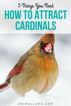 If you want to attract cardinals to your yard or garden, here are 5 things you will need. You'll be able to enjoy the presence of these beautiful birds throughout the entire year. #cardinal #cardinals #birds #birdwatching