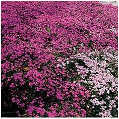 moss ground cover for zone 7 | Image of Moss Pink (Source: Park Seed Garden Journal)