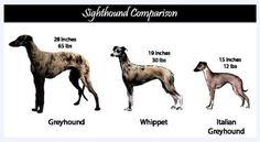 Greyhound, whippet, and italian greyhound Hound Breeds, Dog Breeds, Collars, Lurcher, Irish Wolfhound, Italian Greyhound, Great Friends, Doberman, Kitten