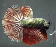 live Tropical Fish-red copper dragon  halfmoon betta I1