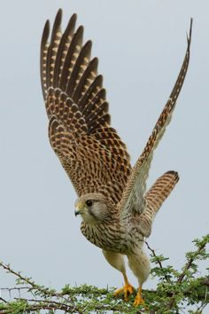 Common Kestrel Beautiful Birds, Beautiful World, Kestrel, Vertebrates, Backyard Birds, Birds Of Prey, Raptors, Wild Birds, Bird Watching